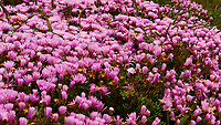 Highway Ice Plant (Hottentot Fig or Sea Fig). Northern Coast of California along the Pacific Coast Highway. Image taken with a Nikon D3 camera and 24-70 mm f/2.8 lens (ISO 200, 70 mm, f/16, 1/200 sec).
