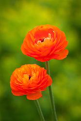 Ranunculus 'Elegance Clementine'. Orange