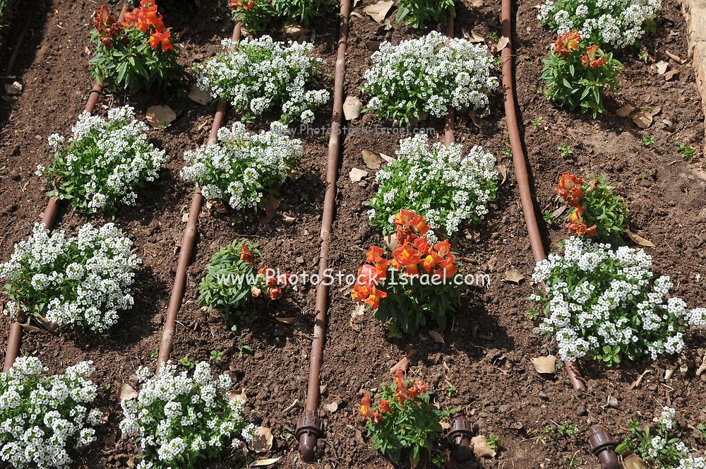Drip irrigation pipes in a flower bed at Ramat Hanadiv gardens near Zichron Ya'acov, Mount Carmel, Israel