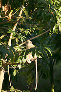 The Hermitage Plantation Inn, Nevis 4/05 Vervit Monkeys visit in the morning