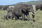 A herd of African elephants (Loxodonta africana) with their young. Photographed in Tanzania