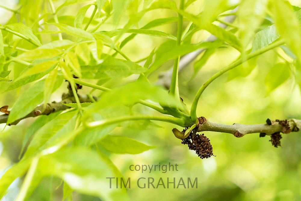 Leaves and branch of Common Ash tree - Fraxinus - showing staminate flower galls likely caused by eriophyid mite which seem not to harm the health of the tree