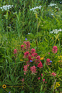 Indian paintbrush and cow parsnip in Glacier National Park, Montana, USA