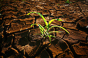 Santa Fe de Minas_MG, Brasil...Detalhe do milho nascendo na terra seca...Detail of the corn borning in the dry land...Foto: LEO DRUMOND / NITRO