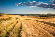 A combine harvester cuts the crops on large fields on the South Downs in Sussex, England, UK on a summers evening.