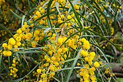 Yellow flowers of an Acacia saligna, commonly known by various names including coojong, golden wreath wattle, orange wattle, blue-leafed wattle, Western Australian golden wattle, and, in Africa, Port Jackson willow, is a small tree in the family Fabaceae. Native to Australia,