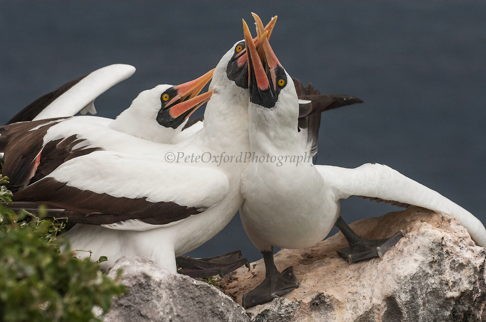 Nazca Boobies (formerly Masked booby) (Sula granti)<br /> Wolf Island<br /> Galapagos Islands<br /> ECUADOR.  South America<br /> They are intermediate between the blue-footed and red-footed booby. They are also plunge-divers but feed further afield than the blue-foots in the inter-island area. They have fewer large colonies but are widespread throughout the archipelago. Sexes are simular and like the blue-foots, nest on the ground. Usually their nests are near cliff edges. Although they lay 2 eggs they only ever raise one chick. The healthier chick pushed the other out of the guano ring - representing the nest. The parents ignore the battle known as 'obligate sibling murder' and leave the chick to its fate.