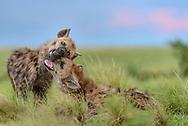 """Tüpfel-Hyänen (Crocuta crocuta) im Liuwa Plain Nationalpark im Westen von Sambia nahe Angola nördlich von Kalabo. Szenen bei einem Bau am Abend.<br /> <br /> Die Tüpfelhyäne oder Fleckenhyäne (Crocuta crocuta) ist eine Raubtierart aus der Familie der Hyänen (Hyaenidae). Sie ist die größte Hyänenart und durch ihr namensgebendes geflecktes Fell gekennzeichnet; ein weiteres Charakteristikum ist die """"Vermännlichung"""" des Genitaltraktes der Weibchen. Die Art bewohnt weite Teile Afrikas und ernährt sich vorwiegend von größeren, selbst gerissenen Wirbeltieren. Tüpfelhyänen leben in Gruppen mit einer komplexen Sozialstruktur, die bis zu 80 Tiere umfassen können und von Weibchen dominiert werden. Die Jungtiere, die zwar bei der Geburt schon weit entwickelt sind, aber dennoch über ein Jahr lang gesäugt werden, werden in Gemeinschaftsbauen großgezogen."""
