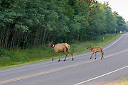 A radio collared cow elk and her calf cross State Highway 77 near Clam Lake, Wisconsin.