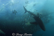 dusky shark, Carcharhinus obscurus, (foreground), copper sharks (background), and Cape gannets, Sula capensis, all prey on a baitball of sardines or pilchards, Sardinops sagax, Transkei, during annual Sardine Run, South Africa