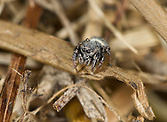 Sibianor aurocinctus - Adult Female. This small jumping spider is a very local species found in dry sparse vegetation in grassland, heaths and brow field sites.