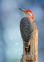 A Red-Bellied Woodpecker On A Post