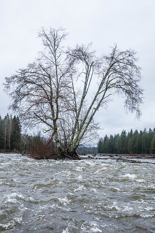 A group of Red Alder trees hold out against the flow of the Nisqually river on the boundary of Mount Rainier National Park, Washington State, USA.