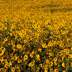 Monticello, VT.Common sunflower, helianthus annuus. Field.