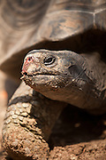 Aldabra Giant Tortoise (Geochelone gigantea), from the islands of the Aldabra Atoll in the Seychelles, is one of the largest tortoises in the world in Myrtle Beach, SC.