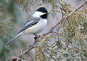 Black-Capped Chickadee, New Mexico