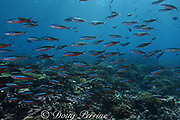 neon (bluestreak) fusiliers, Pterocaesio tile, Bay of Wrecks, Christmas Island, Line Islands, Republic of Kiribati (Pacific)