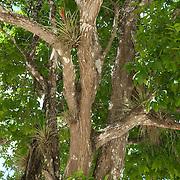 Detail of tree in the Yucatan jungle. Yucatan, Mexico.