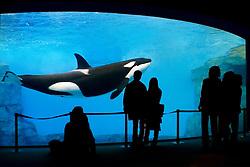 Orca or Killer Whale, Orcinus orca, and aquarium visitors