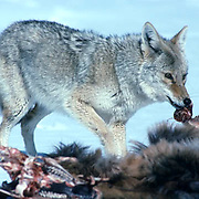 Coyote, (Canis latrans) feeding on carcass of winter killed Elk. (Cervus canadensis) Yellowstone National Park.