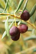 Olives on a branch Aglandau variety. Moulin Mas des Barres olive mill, Maussanes les Alpilles, Bouches du Rhone, Provence, France, Europe