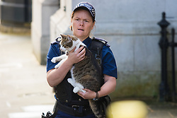Downing Street, London, May 12th 2015. The all-conservatives Cabinet ministers gather for their first official meeting at Downing Street. PICTURED: Larry the PM's cat is returned by a police officer after wandering off towards busy Whitehall.