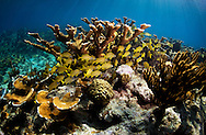 french grunts on a sunny reef in Bahamas