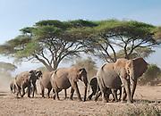 Herd of African elephants walking through Acacia trees in Amboseli National Park, Kenya