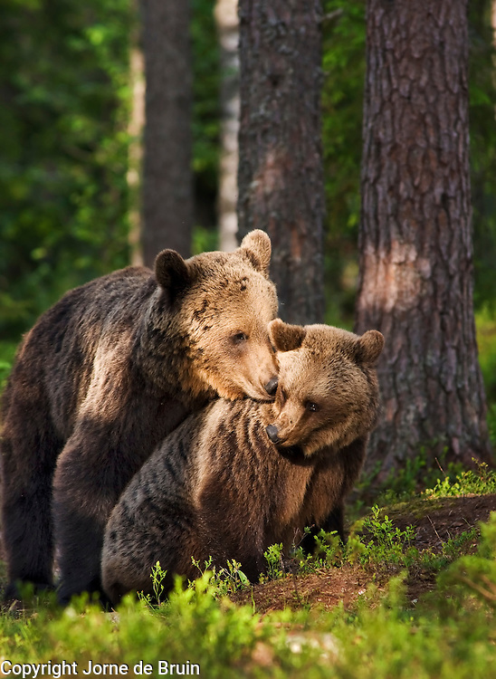 Two Eurasian Brown Bear are about to mate in a forest in Finland.