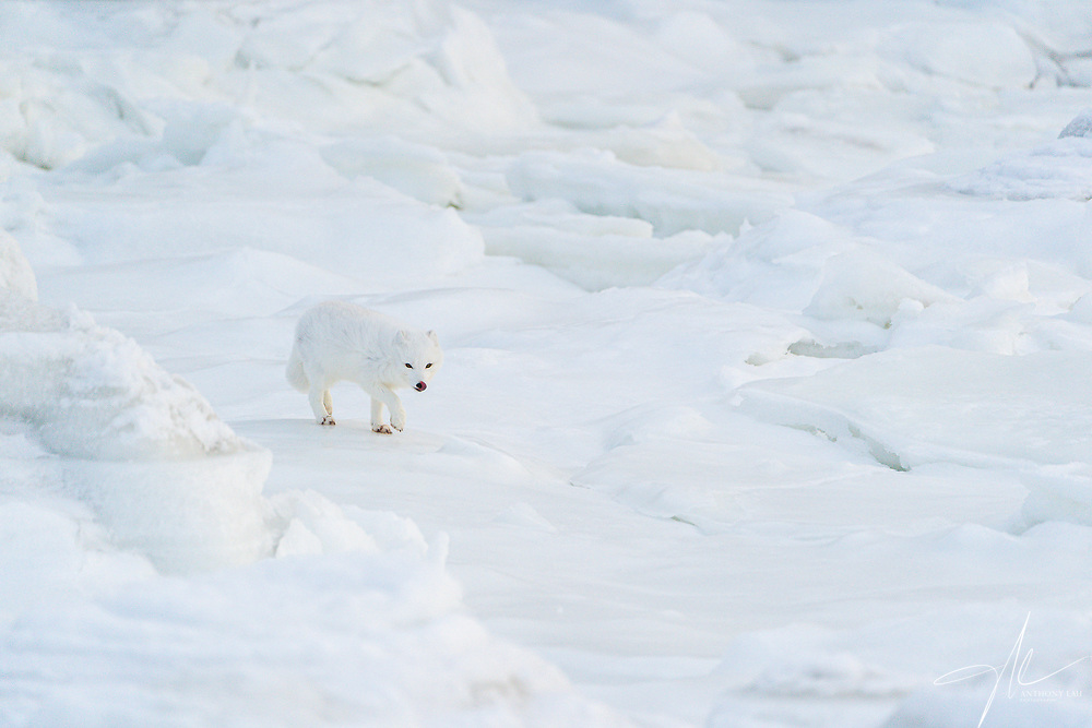 An Arctic Fox cautiously approaching my location on the now frozen coast of Hudson Bay.