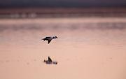 Bufflehead drake in flight in early morning light.