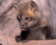 Red fox kit, 6 weeks old,  portrait, exploring, licking nose, [captive, controlled conditions] ©  David A. Ponton