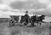 Farm Animals and People in Kanturk, Co. Cork and Castleisland, Co. Kerry. J.J. Murphy's three champion heifers..10.09.1965