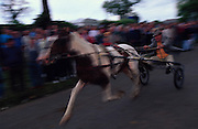 Horses are raced along the road to show them off. Romany Gypsies at Appleby Fair, Cumbria. The most important annual Gypsy horse fair whre Romany Gypsies and travelers meet to trade their wares...English Romany Gypsies traditionally traveled the country roads camping nearby towns and villages, choosing the grassy roadside banks, where they tethered their horses, or in farmer's fields, when they were allowed. Travelling in bowtop wagons drawn by horses, and before that with tents, sometimes with horse drawn carts or just by foot. Often they worked as casual agricultural labourers, doing the seasons work. They also could earn their living in different ways, sometimes selling their wares, brass, tin, wood and cloth, such as embroidered cloths or lace, telling fortunes, music and dancing, and through crafts skills in basket making, plaiting chair bases, sharpening knives,  They would make fires from old wood, cleaning up after them when they moved on. There were several horse fairs, notably Appleby in Cumbria and Stow-on-Wold in the Cotswolds where they trade and sell horses, some traditions which keep to this day.