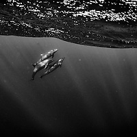 Three dolphins rising to surface in the middle of the Pacific Ocean, near Clipperton Island.<br /> <br /> This image was created during an expedition to explore the reefs surrounding Clipperton Island, 1200 km away from mainland Mexico.<br /> <br /> We found that the coral is still very healthy but overfishing has diminish greatly the shark and tuna population surrounding the Clipperton atoll.
