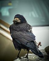 Rook (Corvus frugilegus). Doolin Ferry Dock. Image taken with a Nikon N1V1 camera and 10-110 mm VR lens.
