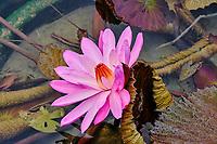Chine, Hong Kong, Kowloon, jardin de Nan Lian et nonnerie de Chi Lin, lotus // China, Hong Kong, Kowloon, The pagoda at the Chi Lin Nunnery and Nan Lian Garden, lotus flower