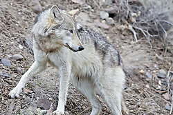 Wolf #820 of the Lamar Pack in Yellowstone National Park