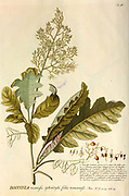 Coloured Copperplate engraving of a Bocconia plant from hortus nitidissimus by Christoph Jakob Trew (Nuremberg 1750-1792)