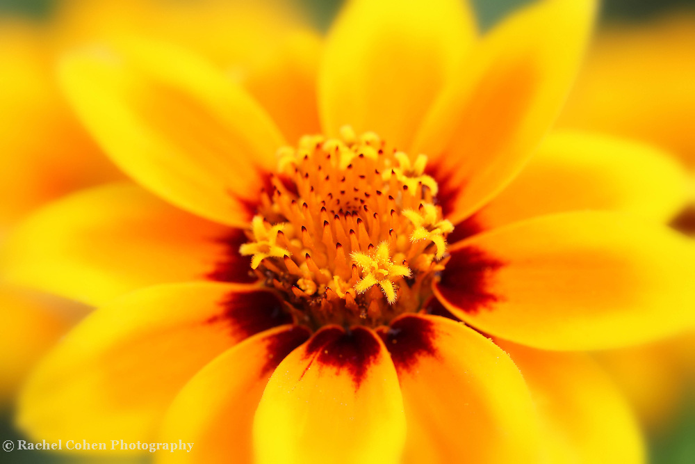 """""""Certainty""""<br /> <br /> A brilliant and beautiful macro of a bright yellow Zinnia in her full glory!!<br /> <br /> Flowers and floral images by Rachel Cohen"""
