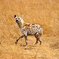 Hyena walking in the Ngorongoro Crater in Tanzania.