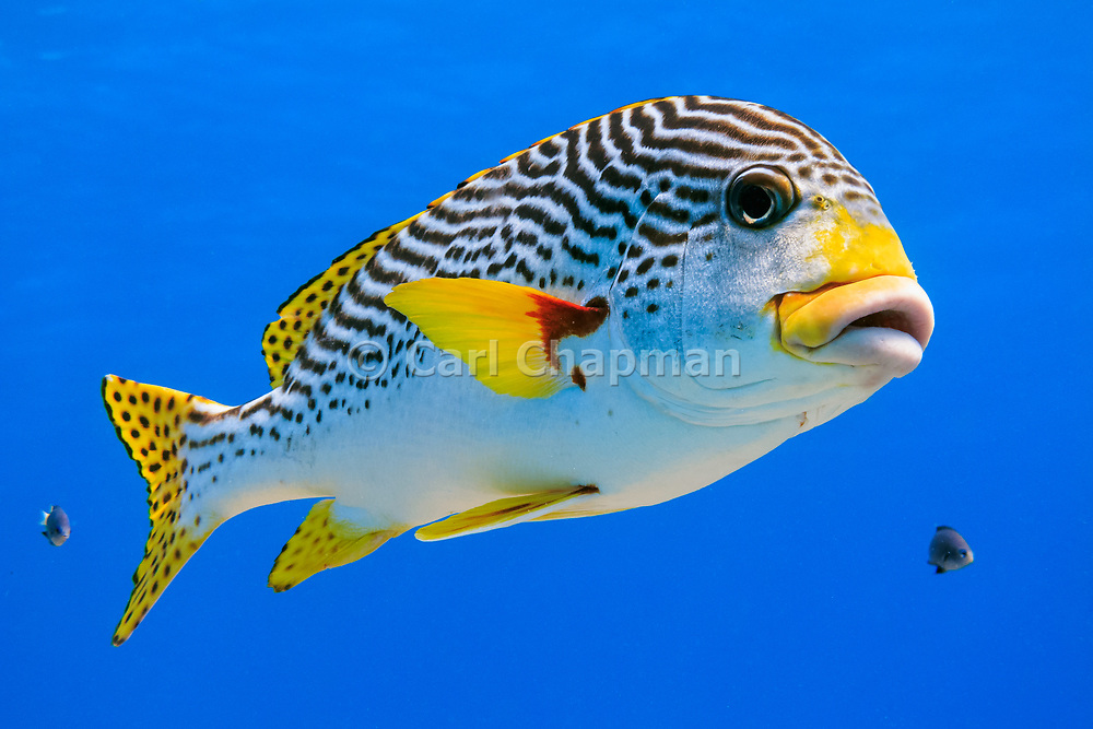 Diagonal banded Sweetlips fish (Plectorhinchus lineatus) on tropical coral reef - Agincourt reef, Great Barrier Reef, Queensland, Australia. Also commonly known as  Yellow-banded Sweetlips, Oblique-banded Sweetlips or Goldman's Sweetlips. <br /> <br /> Editions:- Open Edition Print / Stock Image
