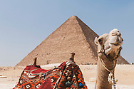 A camel at the Giza Pyramids in Cairo, Egypt. In the background: The Great Pyramid of Giza (also known as the Pyramid of Khufu or the Pyramid of Cheops), the oldest and largest of the three pyramids in the Giza pyramid complex. It was constructed around 2580–2560 BC.
