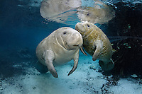 Florida manatee, Trichechus manatus latirostris, a subspecies of the West Indian manatee, endangered. Series depicting closeness of mother and calf. A calf rises for a breath while next to its mother near a warm blue spring on a cold winter day. Fish, bream, Lepomis spp., and a mangrove snapper, Lutjanus griseus, are present around the young animal. The manatees tolerate the bream attention as it is the price to pay for sharing the warm waters. Bream target dermis and dead skin on the manatees. Horizontal orientation with blue water and reflections. Three Sisters Springs, Crystal River National Wildlife Refuge, Kings Bay, Crystal River, Citrus County, Florida USA.