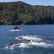 Tourists swimming with dolphins in Queen Charlotte Sound, South Island, New Zealand..The dolphins are viewed by tourists on a 'swimming with Dolphins' trip with Dolphin Watch Eco Tours, run out of Picton, South Island, New Zealand. 27th January 2011. Photo Tim Clayton..