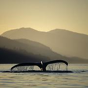 Humpback whale (Megaptera novaeanglia) sounding, Peril Strait, Chatham Strait, Southeast Alaska, USA.