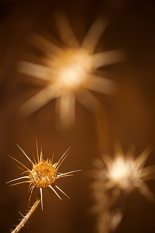 Dried thistle flowerheads in Wadi Rum, Jordan.