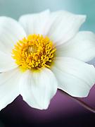 Dahlia 'Twyning's After Eight' - single-flowered dahlia