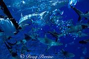remote camera on left records gray reef sharks, Carcharhinus amblyrhynchos, in feeding frenzy, Bikini Atoll, Marshall Islands, Micronesia ( Pacific Ocean )