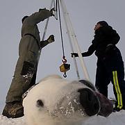 Geoff York, USGS biologist and assistant Karen Rode take weight measurements of a captured polar bear (Ursus maritimus) on the pack ice of the Beaufort Sea. Kaktovik, Alaska.